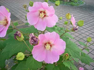 道路脇の花1-3