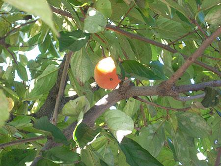 20071114庭の柿
