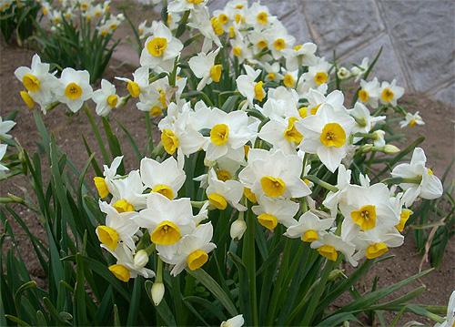 20080304花壇の花②