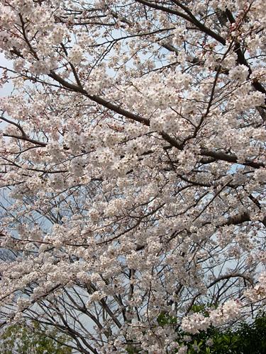 20080328桜①