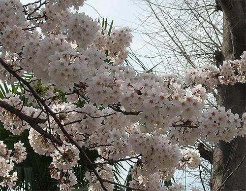 20080328桜②