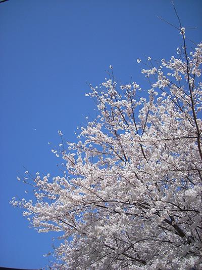 20080401桜①