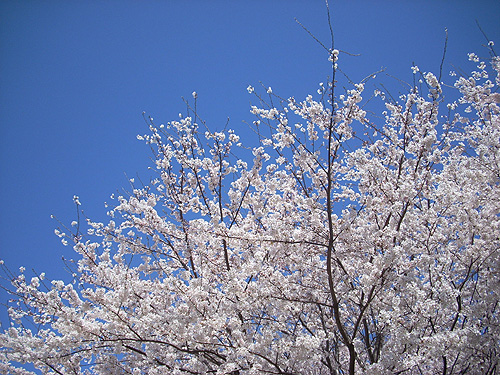 20080401桜②