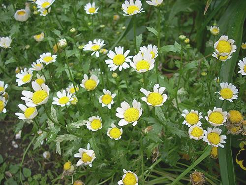 20080515花②