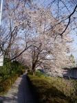 桜堤通りの遊歩道で
