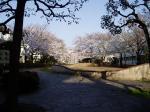 染地公園のサクラ
