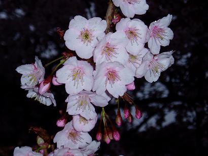 """""""見上げる桜の花"""""""
