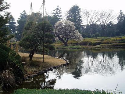 池の向こうの梅