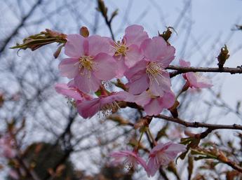 大寒桜ズーム