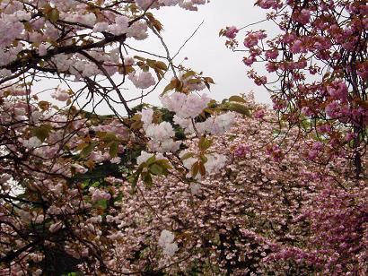 いろいろな八重桜