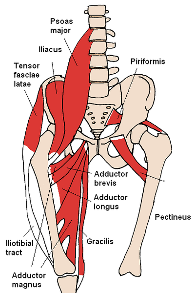 400px-Anterior_Hip_Muscles_2.png