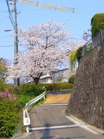 こちらも桜。