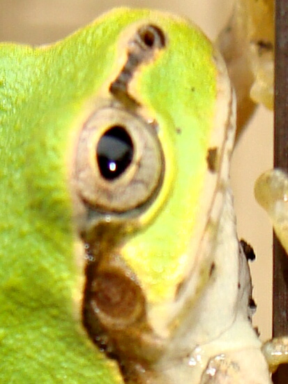 06蛙の横顔だよー