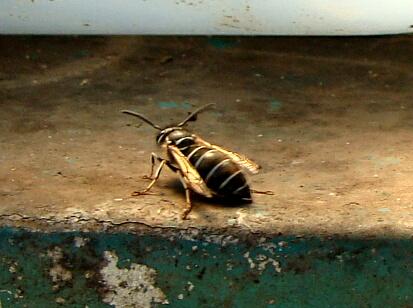 03デブった黒スズメ蜂、だと思う