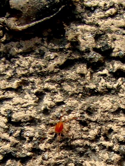 13赤い蜘蛛っす