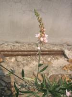 rinaria-purupurea-3.jpg