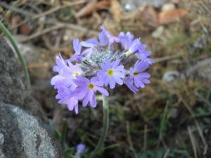 200904ヒマラヤの花01