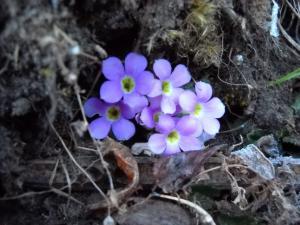 200904ヒマラヤの花06