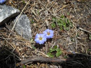 200904ヒマラヤの花07