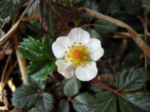 200904ヒマラヤの花12