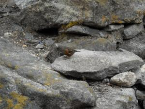 200904ネパールの鳥9