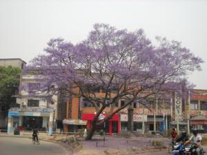 200904ジャガランダ