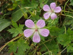 20080912伊予富士の花3