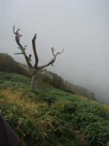 20080923笹ヶ峰-白骨樹