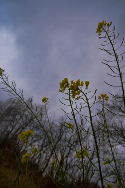 初冬に咲く