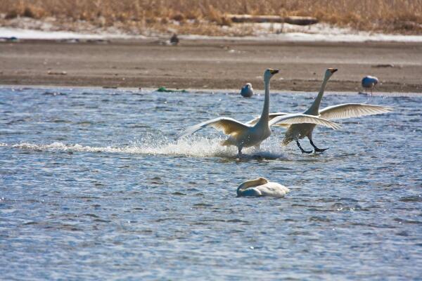 白鳥の水上スキー