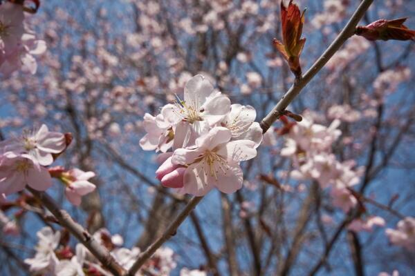 蝦夷山桜満開