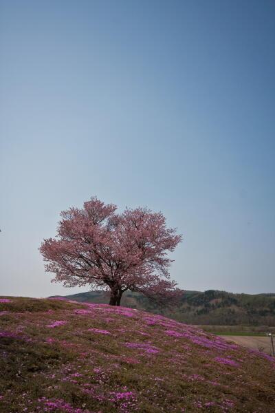 双子桜 ( 津別町 )