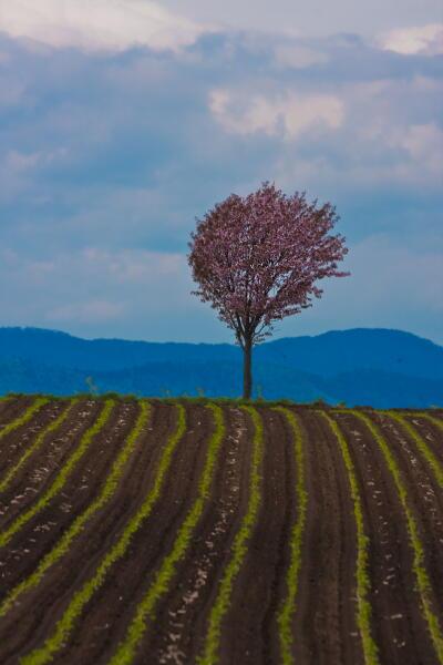 ホウキ桜 満開