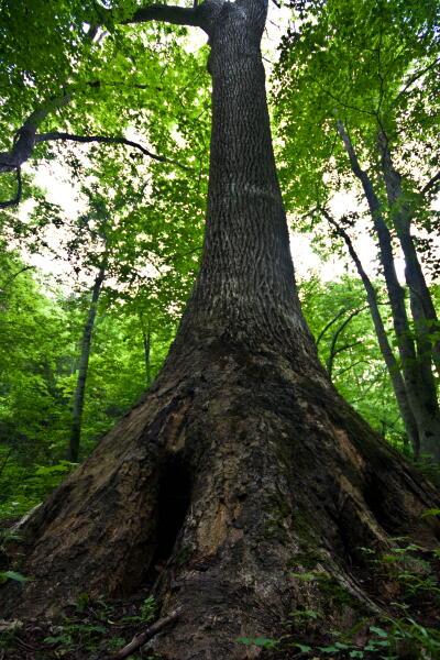 巨木100選 美岬のヤチダモ
