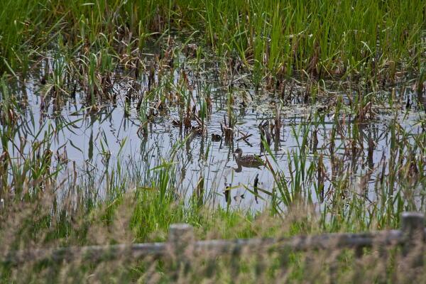 調整池のマガモの親子