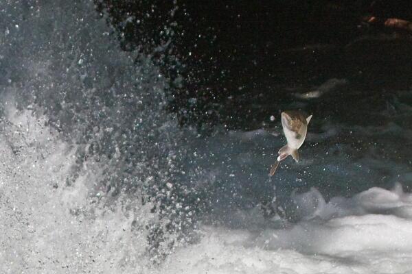 サクラマス  清里町さくらの滝