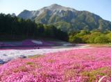 sibazakura4261.jpg