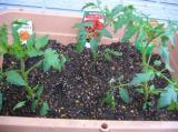 tomato4251.jpg