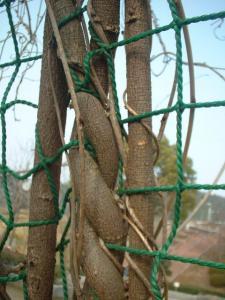 木のつる①