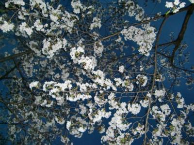 ちゃんと夜桜