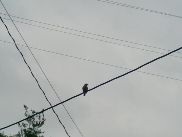 電線に止まってる鳥さん