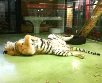 動物園トラ