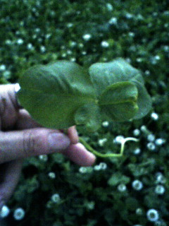 四つ葉のクローバー2