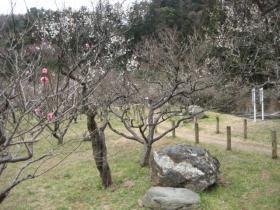 諏訪梅林はまだ 2分咲です