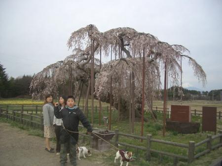 画像 3398神田の桜