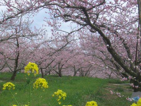 穴山 桃の花見 079