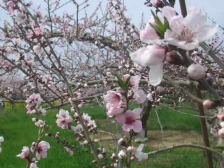 穴山 桃の花見 098