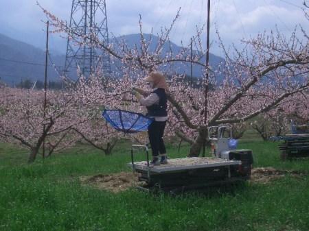 穴山 桃の花見 104