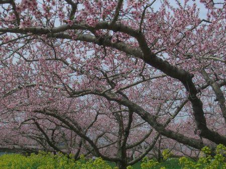穴山 桃の花見 108