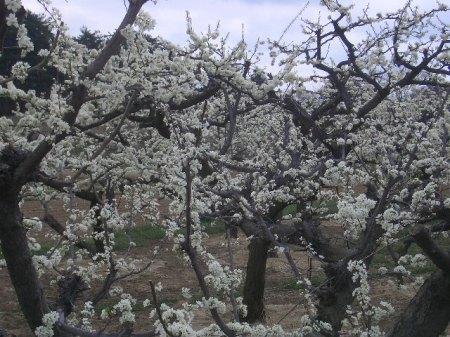 穴山 桃の花見 117